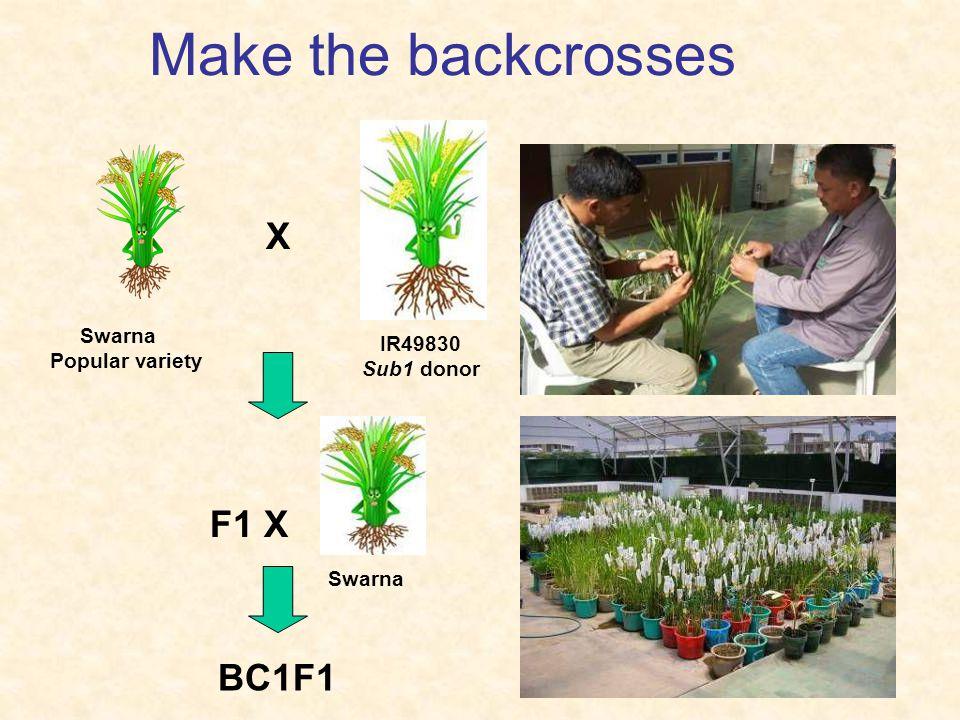 Make the backcrosses Swarna Popular variety X IR49830 Sub1 donor F1 X Swarna BC1F1