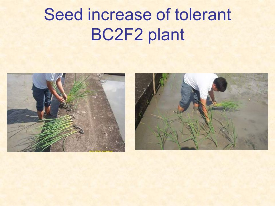 Seed increase of tolerant BC2F2 plant