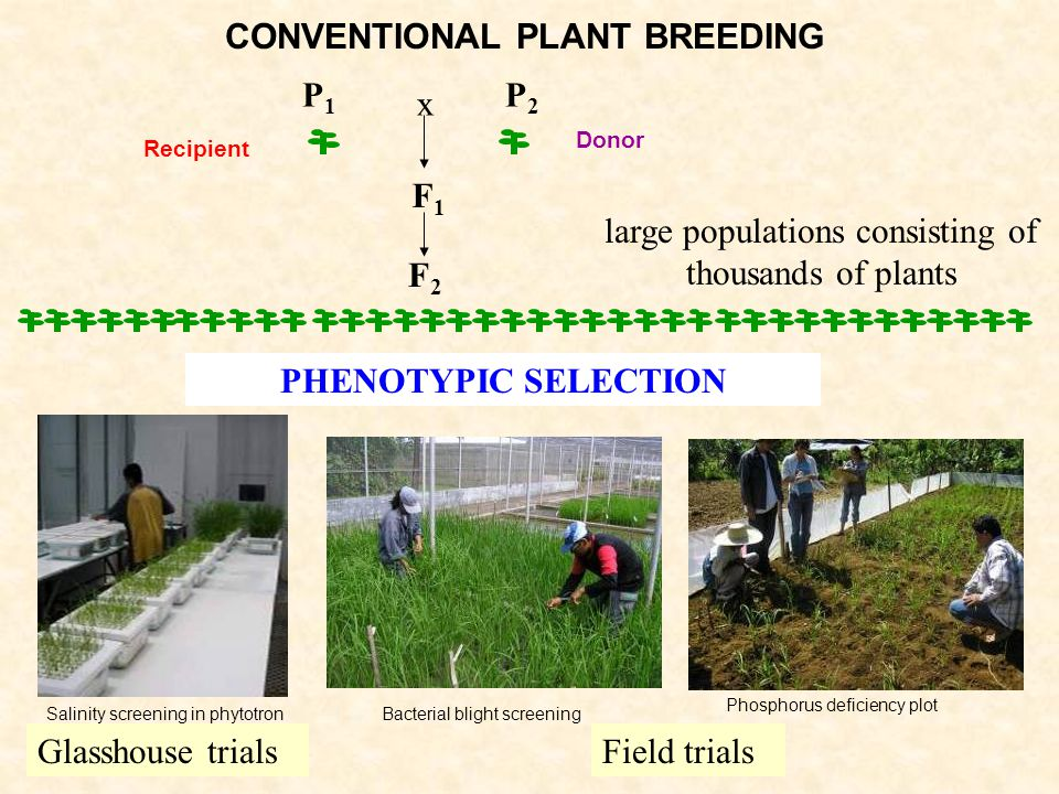 F2F2 P2P2 F1F1 P1P1 x large populations consisting of thousands of plants PHENOTYPIC SELECTION Field trialsGlasshouse trials Donor Recipient CONVENTIONAL PLANT BREEDING Salinity screening in phytotronBacterial blight screening Phosphorus deficiency plot
