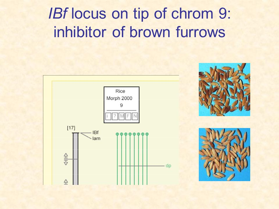 IBf locus on tip of chrom 9: inhibitor of brown furrows