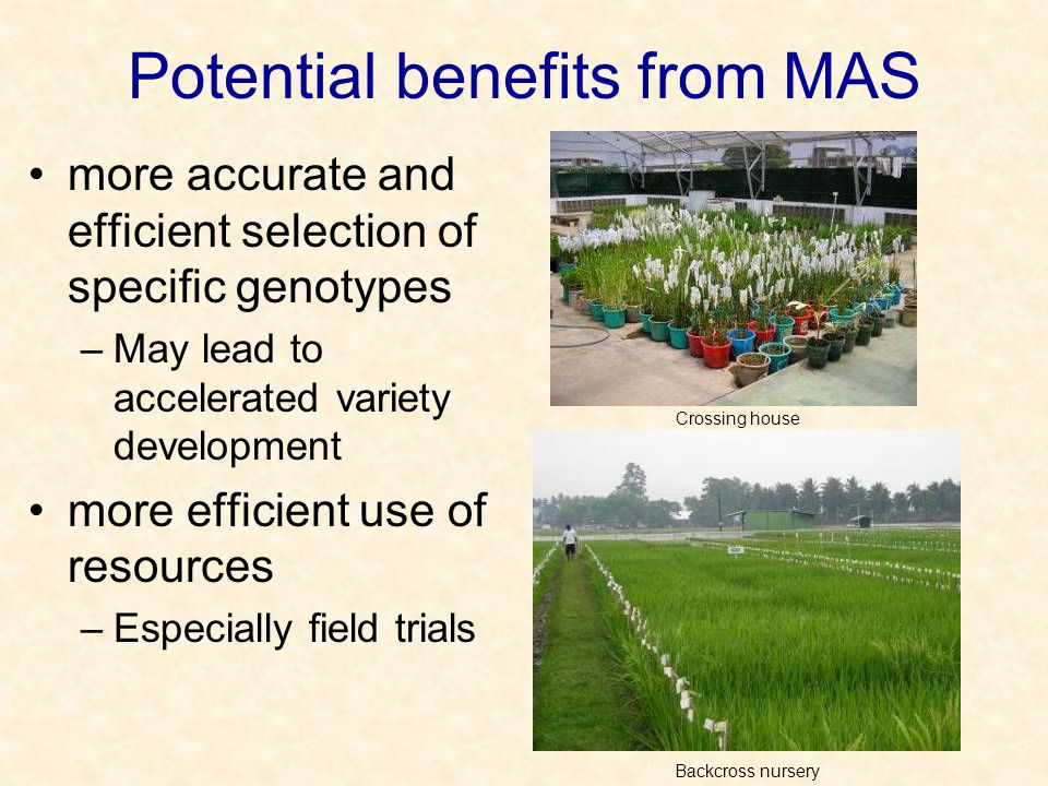Potential benefits from MAS more accurate and efficient selection of specific genotypes –May lead to accelerated variety development more efficient use of resources –Especially field trials Crossing house Backcross nursery