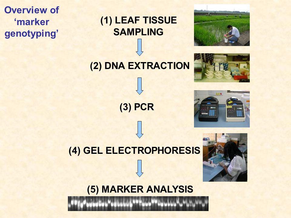 (1) LEAF TISSUE SAMPLING (2) DNA EXTRACTION (3) PCR (4) GEL ELECTROPHORESIS (5) MARKER ANALYSIS Overview of 'marker genotyping'