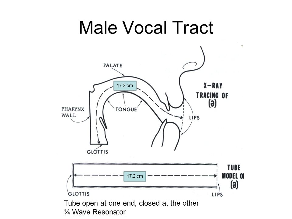 Male Vocal Tract 17.2 cm Tube open at one end, closed at the other ¼ Wave Resonator