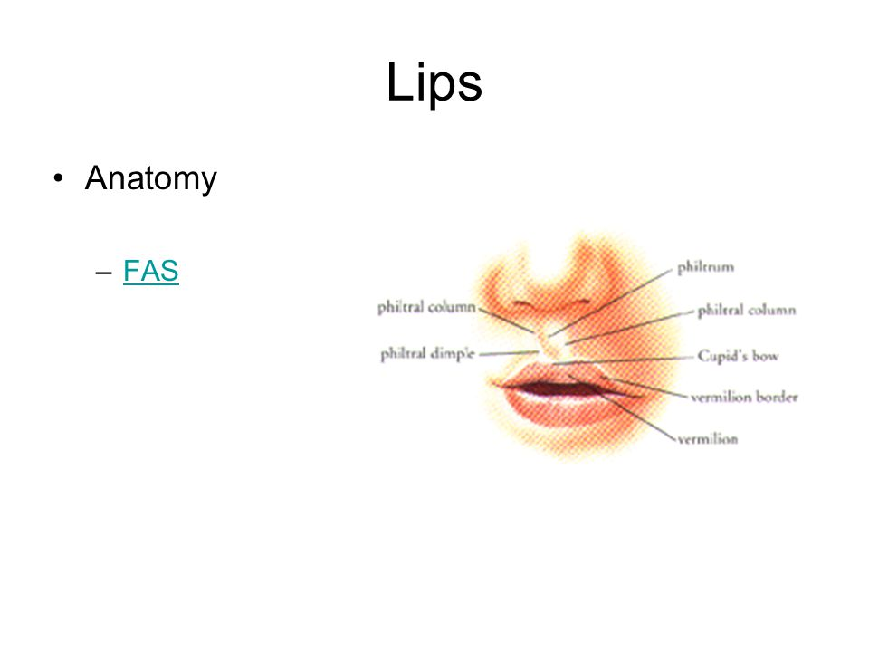 Lips Anatomy –FASFAS