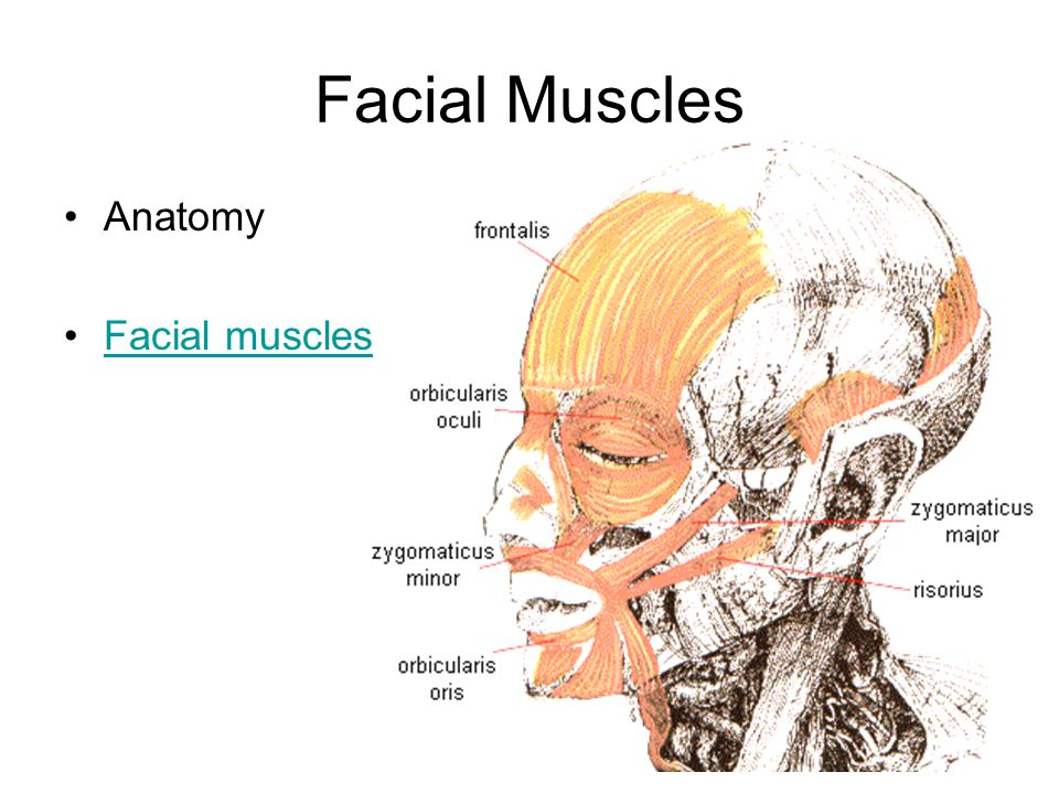 Facial Muscles Anatomy Facial muscles