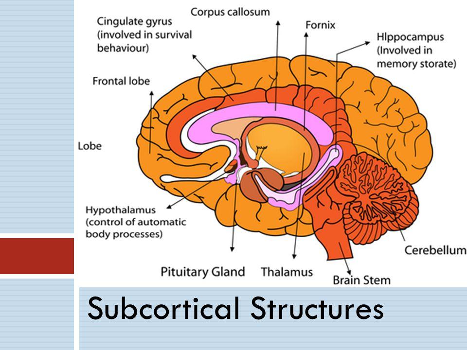 Subcortical Structures Cortex Organization