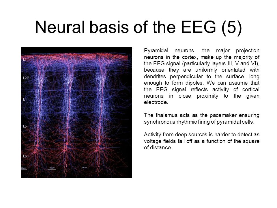 Neural basis of the EEG (5) Pyramidal neurons, the major projection neurons in the cortex, make up the majority of the EEG signal (particularly layers