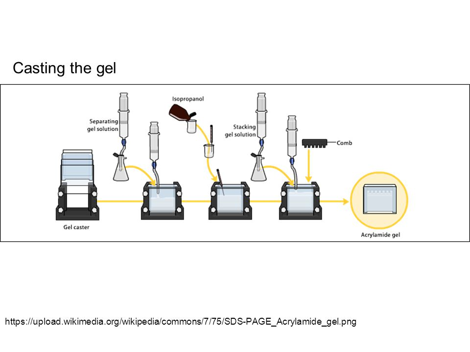 Casting the gel https://upload.wikimedia.org/wikipedia/commons/7/75/SDS-PAGE_Acrylamide_gel.png