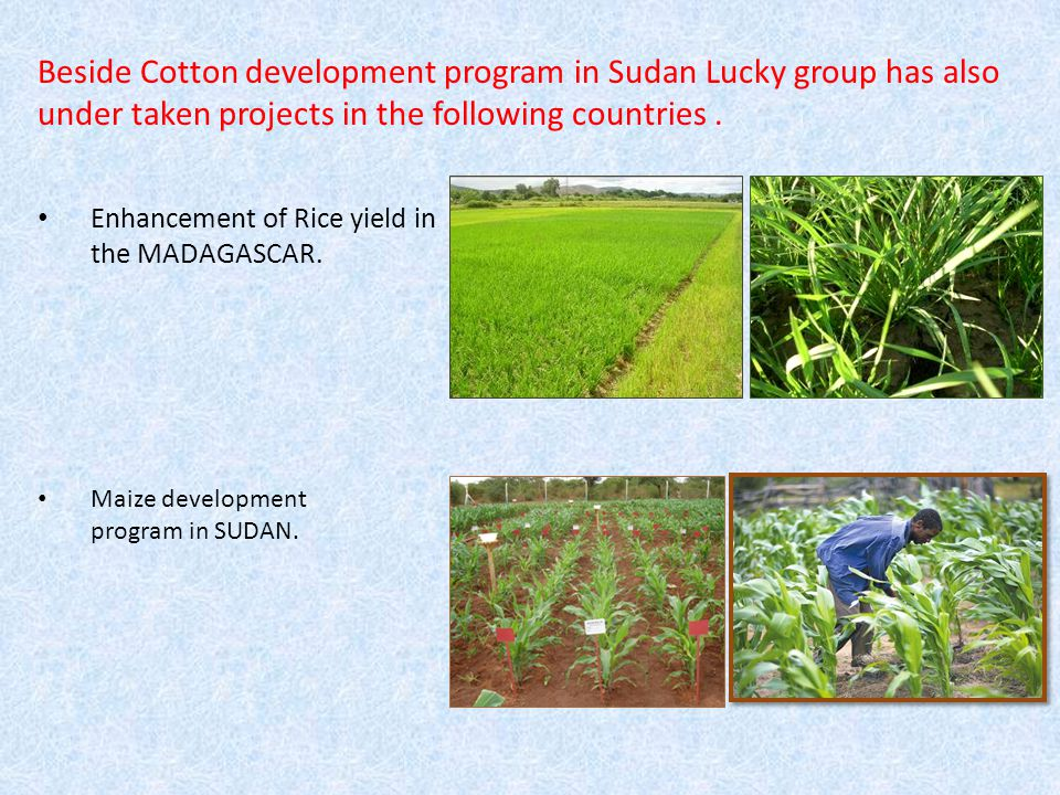 HYBRID COTTON TRIAL - AT RAHAD RESEARCH STATION (SUDAN) Performance of two Indian Hybrid No.