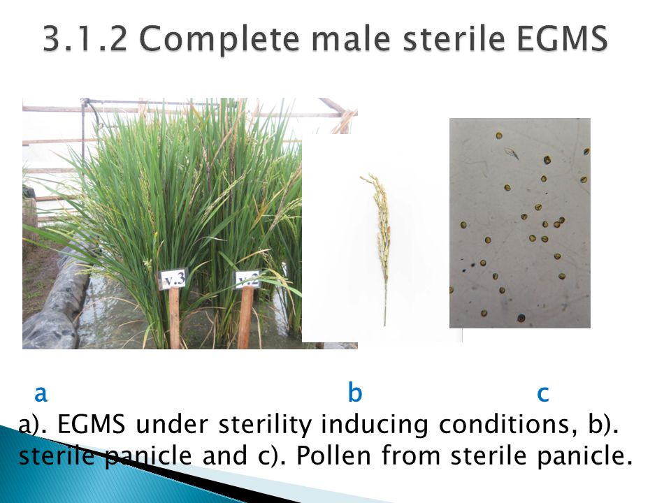 a b c a). EGMS under sterility inducing conditions, b). sterile panicle and c). Pollen from sterile panicle.