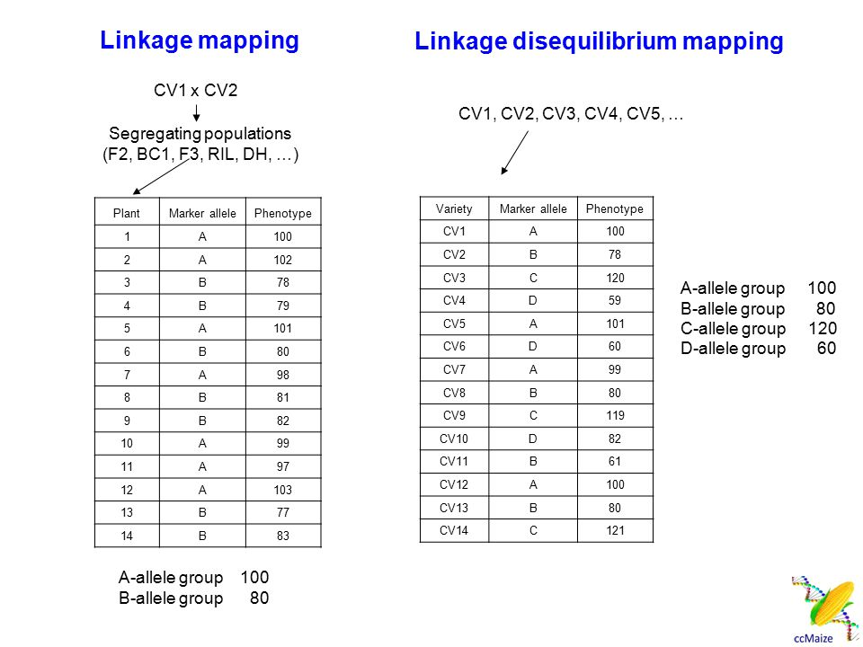 Linkage mapping VarietyMarker allelePhenotype CV1A100 CV2B78 CV3C120 CV4D59 CV5A101 CV6D60 CV7A99 CV8B80 CV9C119 CV10D82 CV11B61 CV12A100 CV13B80 CV14C121 PlantMarker allelePhenotype 1A100 2A102 3B78 4B79 5A101 6B80 7A98 8B81 9B82 10A99 11A97 12A103 13B77 14B83 A-allele group 100 B-allele group 80 CV1 x CV2 Segregating populations (F2, BC1, F3, RIL, DH, …) CV1, CV2, CV3, CV4, CV5, … A-allele group 100 B-allele group 80 C-allele group 120 D-allele group 60 Linkage disequilibrium mapping
