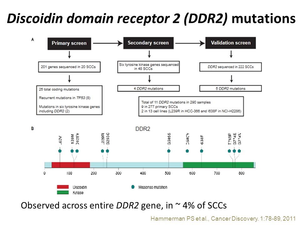 Discoidin domain receptor 2 (DDR2) mutations Observed across entire DDR2 gene, in ~ 4% of SCCs Hammerman PS et al., Cancer Discovery.