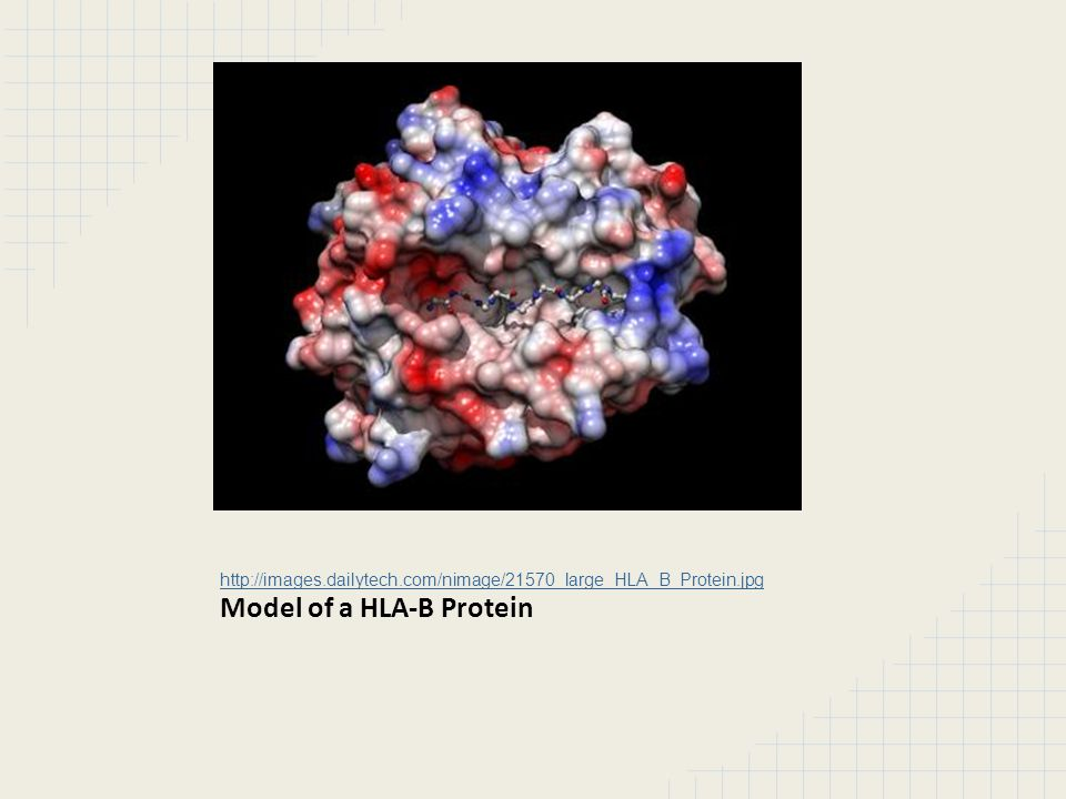 http://images.dailytech.com/nimage/21570_large_HLA_B_Protein.jpg Model of a HLA-B Protein