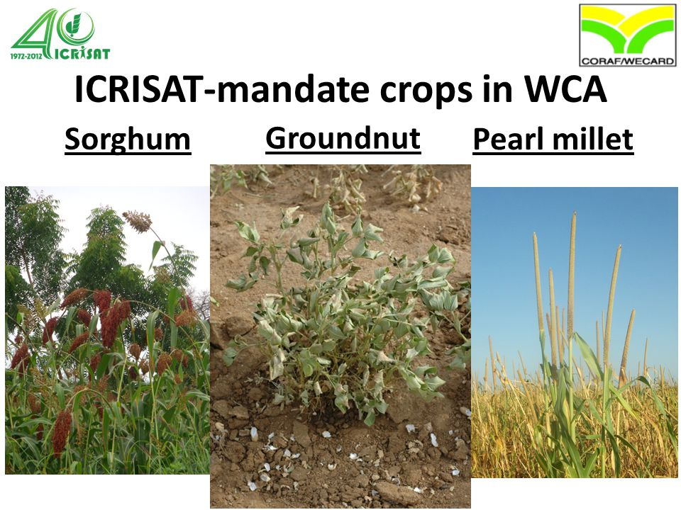 Emerging opportunities GbS-SNPs as a tool for orphan crops White fonio accessions from Mali Aligned crop genome sequences Pearl millet Groundnut