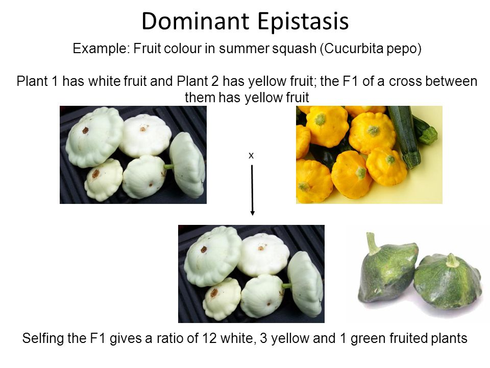 Selfing the F1 gives a ratio of 12 white, 3 yellow and 1 green fruited plants Dominant Epistasis Example: Fruit colour in summer squash (Cucurbita pep