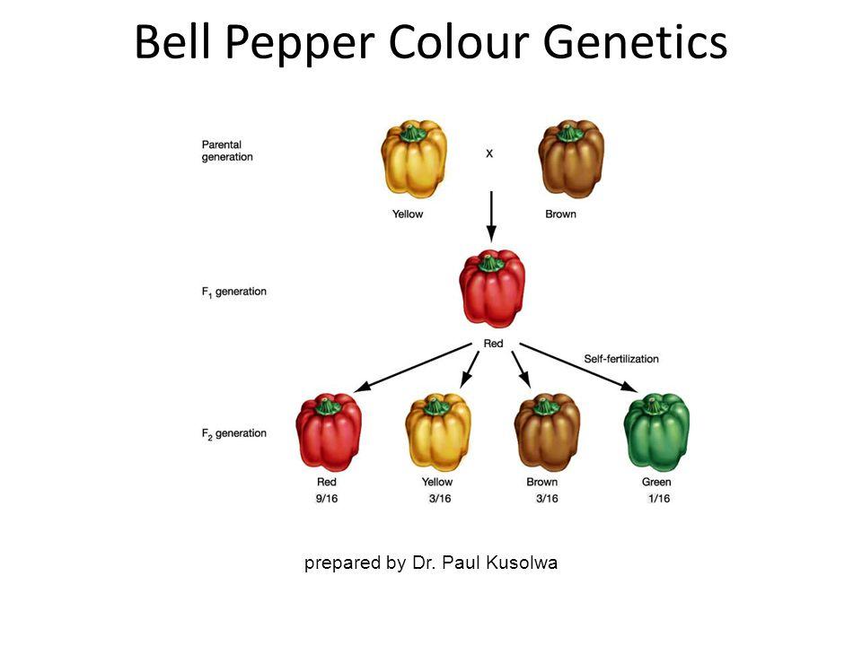 prepared by Dr. Paul Kusolwa Bell Pepper Colour Genetics