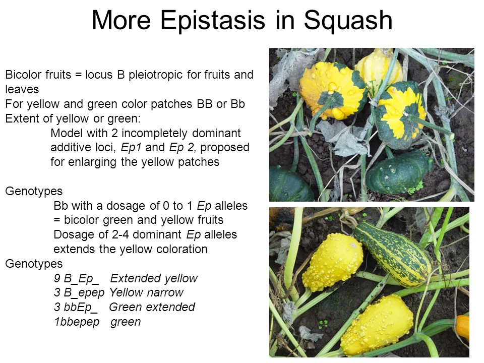 Bicolor fruits = locus B pleiotropic for fruits and leaves For yellow and green color patches BB or Bb Extent of yellow or green: Model with 2 incompletely dominant additive loci, Ep1 and Ep 2, proposed for enlarging the yellow patches Genotypes Bb with a dosage of 0 to 1 Ep alleles = bicolor green and yellow fruits Dosage of 2-4 dominant Ep alleles extends the yellow coloration Genotypes 9 B_Ep_ Extended yellow 3 B_epep Yellow narrow 3 bbEp_ Green extended 1bbepep green More Epistasis in Squash