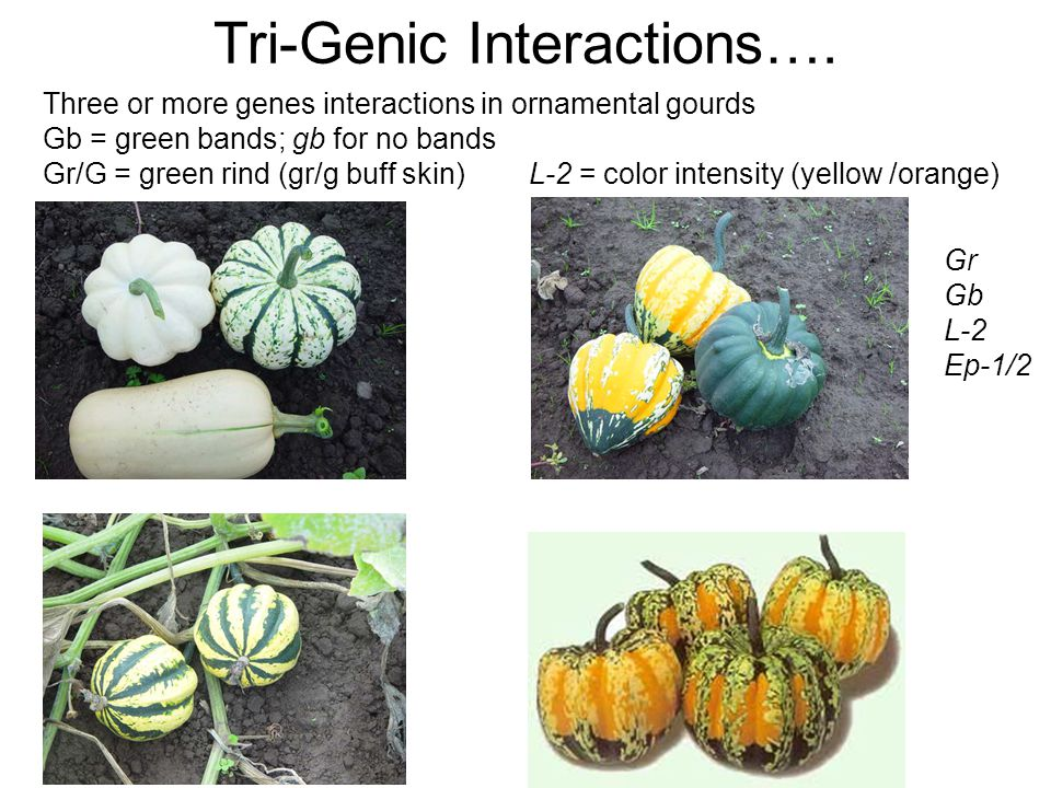 Three or more genes interactions in ornamental gourds Gb = green bands; gb for no bands Gr/G = green rind (gr/g buff skin) L-2 = color intensity (yell