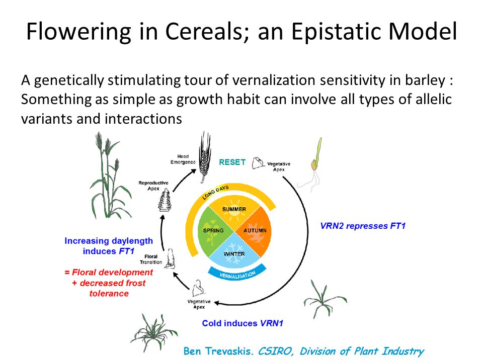A genetically stimulating tour of vernalization sensitivity in barley : Something as simple as growth habit can involve all types of allelic variants and interactions Flowering in Cereals; an Epistatic Model