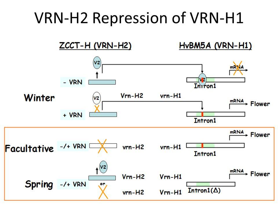 VRN-H2 Repression of VRN-H1