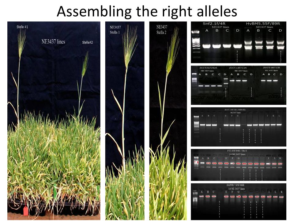 Assembling the right alleles