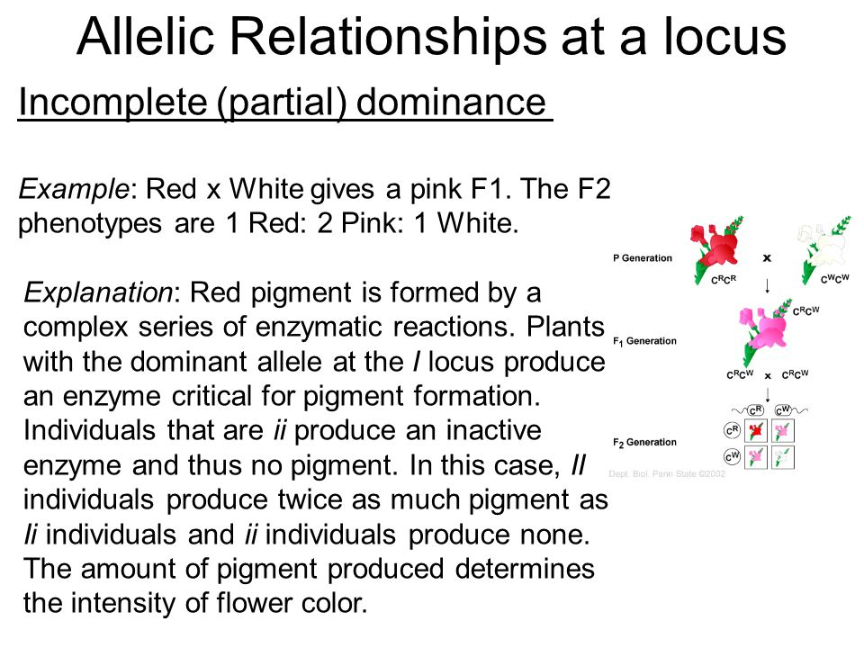 Incomplete (partial) dominance Example: Red x White gives a pink F1. The F2 phenotypes are 1 Red: 2 Pink: 1 White. Explanation: Red pigment is formed