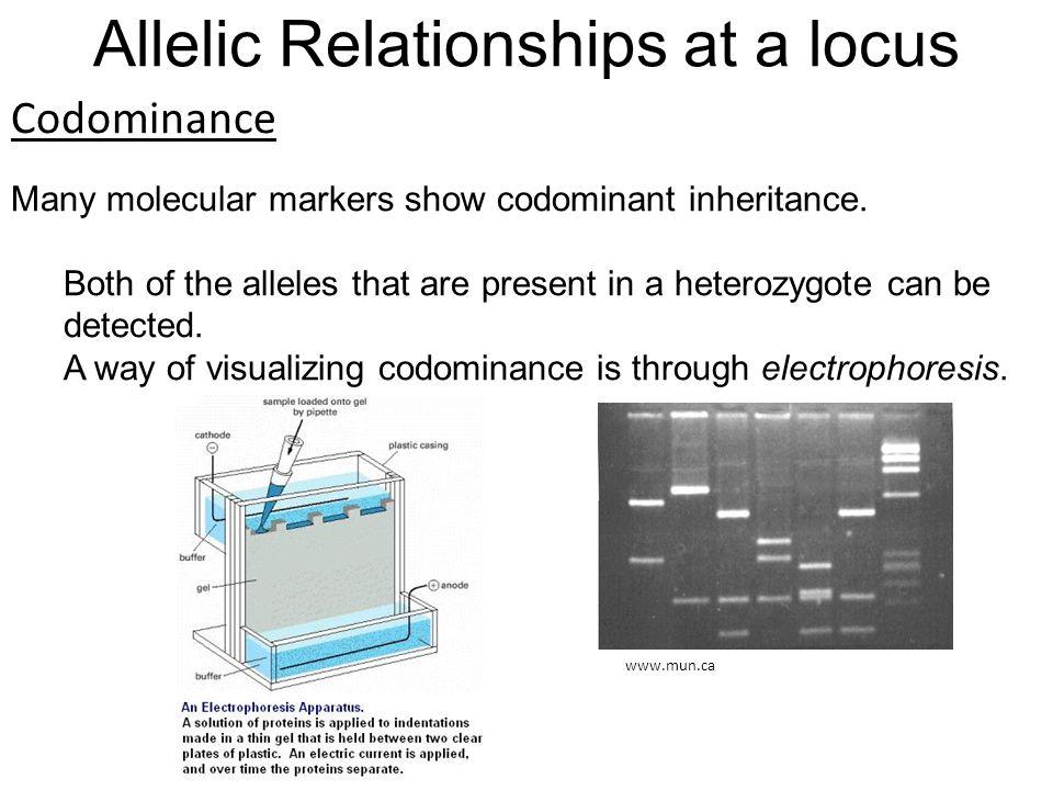 Codominance Many molecular markers show codominant inheritance.