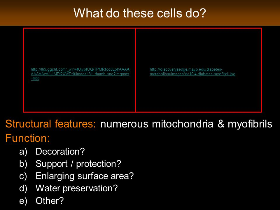 What do these cells do? Structural features: numerous mitochondria & myofibrils Function: a)Decoration? b)Support / protection? c)Enlarging surface ar