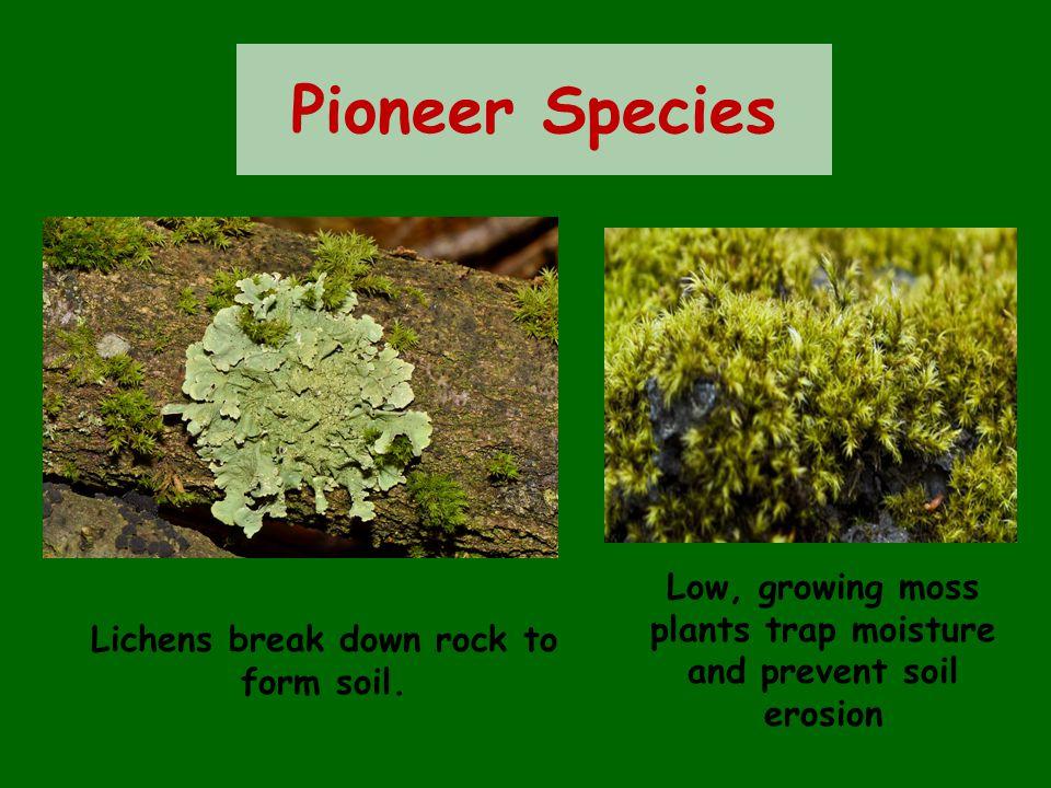 Pioneer Species Lichens break down rock to form soil.
