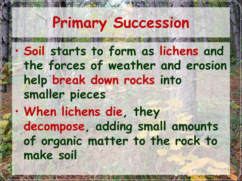 Primary Succession Soil starts to form as lichens and the forces of weather and erosion help break down rocks into smaller pieces When lichens die, they decompose, adding small amounts of organic matter to the rock to make soil