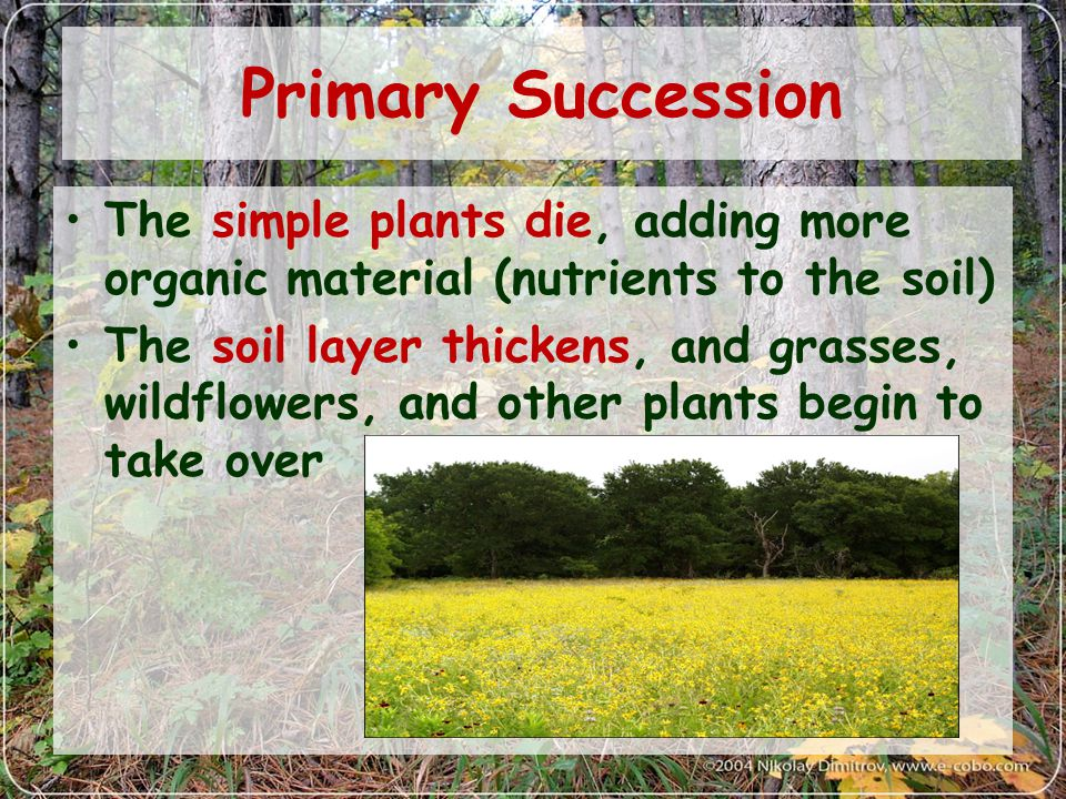 Primary Succession The simple plants die, adding more organic material (nutrients to the soil) The soil layer thickens, and grasses, wildflowers, and other plants begin to take over
