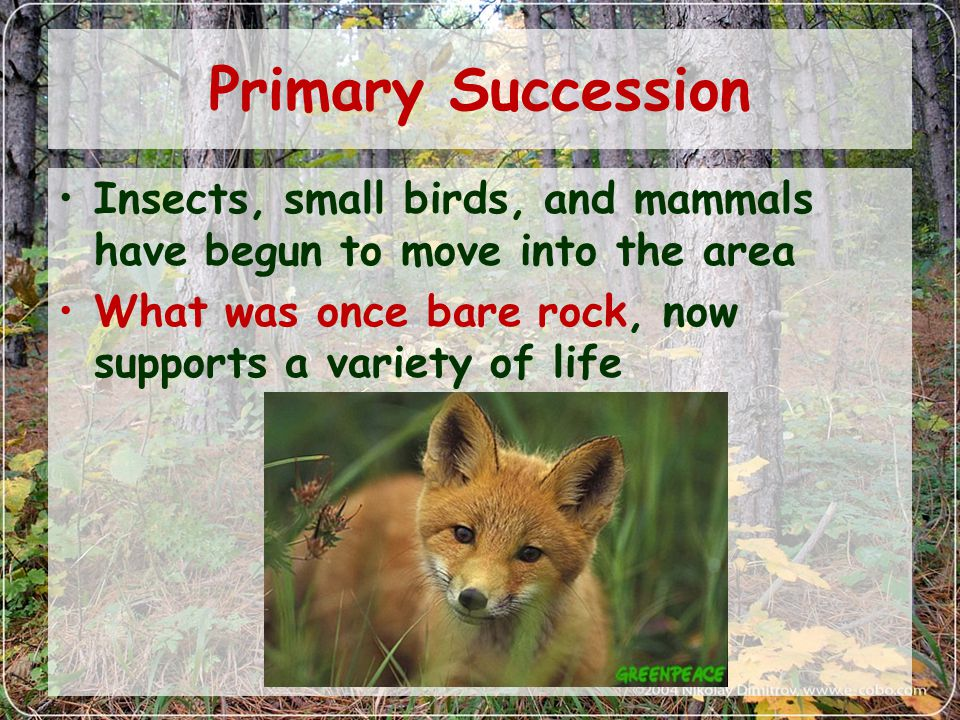 Primary Succession Insects, small birds, and mammals have begun to move into the area What was once bare rock, now supports a variety of life