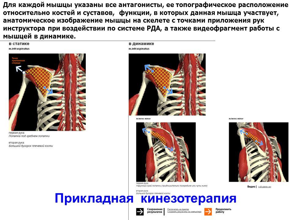 Для каждой мышцы указаны все антагонисты, ее топографическое расположение относительно костей и суставов, функции, в которых данная мышца участвует, анатомическое изображение мышцы на скелете с точками приложения рук инструктора при воздействии по системе РДА, а также видеофрагмент работы с мышцей в динамике.
