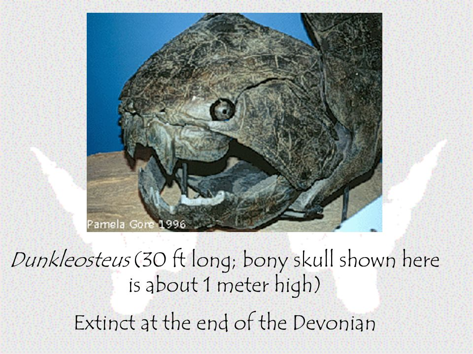 Dunkleosteus (30 ft long; bony skull shown here is about 1 meter high) Extinct at the end of the Devonian