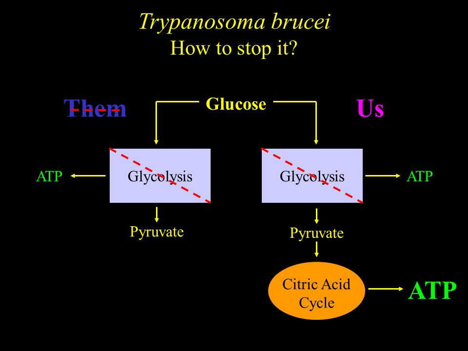 Trypanosoma brucei How to stop it.