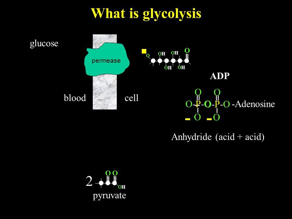 What is glycolysis bloodcell glucose O OHOH 2 pyruvate O permease -Adenosine O O O-P-OO-P-O O O O-P-OO-P-O ADP Anhydride (acid + acid) O OHOH OHOH OHOH OHOH O
