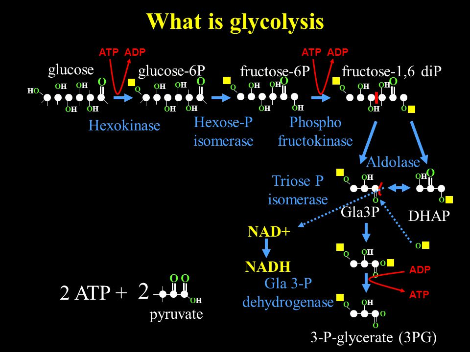 What is glycolysis O OHOH 2 pyruvate O glucose O OHOH HOHO OHOH OHOH OHOH 2 ATP + glucose-6P Hexokinase O OHOH OHOH OHOH OHOH O O OHOH O OHOH OHOH O O OHOH OHOH OHOH OHOH O fructose-6P Hexose-P isomerase ATP ADP fructose-1,6 diP Phospho fructokinase O O O OHOH OHOH O DHAP Gla3P Aldolase Triose P isomerase O OHOH O O O NAD+ NADH O OHOH O O ADP ATP Gla 3-P dehydrogenase 3-P-glycerate (3PG)