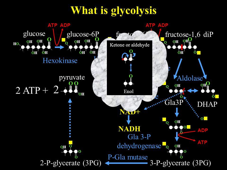 What is glycolysis O OHOH 2 O glucose O OHOH HOHO OHOH OHOH OHOH 2 ATP + glucose-6P Hexokinase O OHOH OHOH OHOH OHOH O O OHOH O OHOH OHOH O O OHOH OHOH OHOH OHOH O fructose-6P Hexose-P isomerase ATP ADP fructose-1,6 diP Phospho fructokinase O O O OHOH OHOH O DHAP Gla3P Aldolase Triose P isomerase O OHOH O O O NAD+ NADH O OHOH O O ADP ATP Gla 3-P dehydrogenase 3-P-glycerate (3PG) 2-P-glycerate (3PG) O O OHOH O Ketone or aldehyde O O Enol pyruvate P-Gla mutase