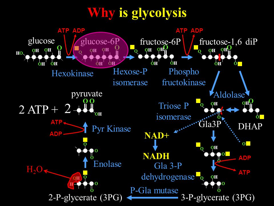 Why is glycolysis O OHOH 2 pyruvate O glucose O OHOH HOHO OHOH OHOH OHOH 2 ATP + glucose-6P Hexokinase O OHOH OHOH OHOH OHOH O O OHOH O OHOH OHOH O O OHOH OHOH OHOH OHOH O fructose-6P Hexose-P isomerase ATP ADP fructose-1,6 diP Phospho fructokinase O O O OHOH OHOH O DHAP Gla3P Aldolase Triose P isomerase O OHOH O O O NAD+ NADH O OHOH O O ADP ATP Gla 3-P dehydrogenase 3-P-glycerate (3PG) O O OHOH O H 2-P-glycerate (3PG) O O O H2OH2O P-Gla mutase Enolase Pyr Kinase ATP ADP
