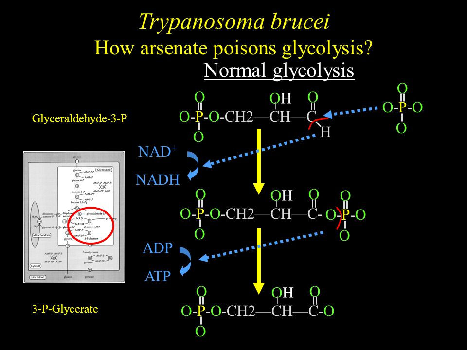 Trypanosoma brucei How arsenate poisons glycolysis.