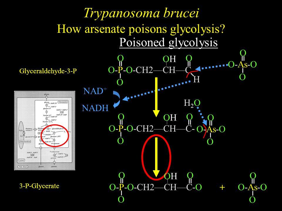 O O O-As-O O-P-O-CH2—CH—C O O O H NAD + NADH ADP ATP Glyceraldehyde-3-P O-P-O-CH2—CH—C-O O O O 3-P-Glycerate O-P-O-CH2—CH—C- O O O O O O-As-O H2OH2O O O + OHOH OHOH OHOH Trypanosoma brucei How arsenate poisons glycolysis.