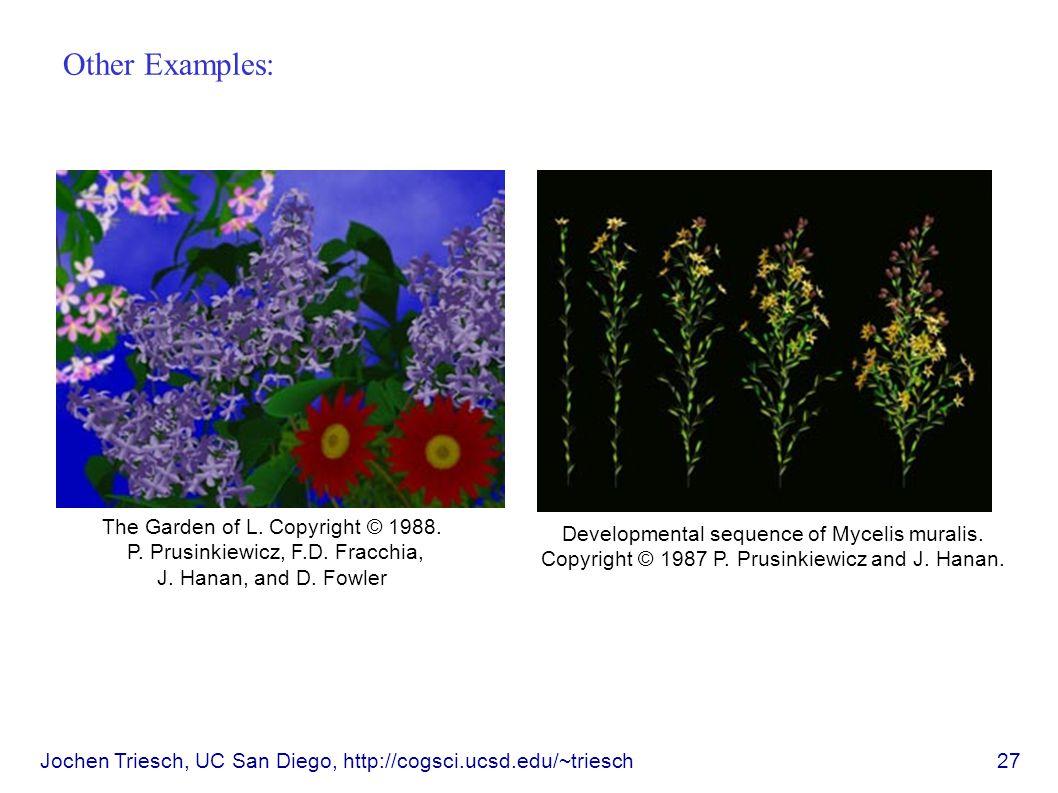 Jochen Triesch, UC San Diego, http://cogsci.ucsd.edu/~triesch 27 Other Examples: Developmental sequence of Mycelis muralis.