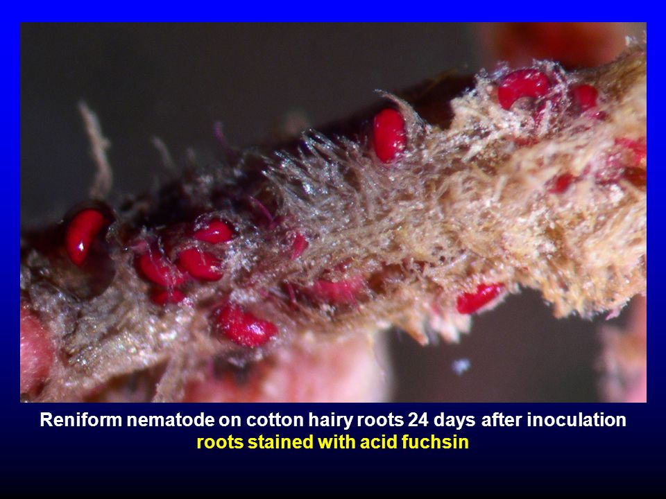 Reniform nematode on cotton hairy roots 24 days after inoculation roots stained with acid fuchsin