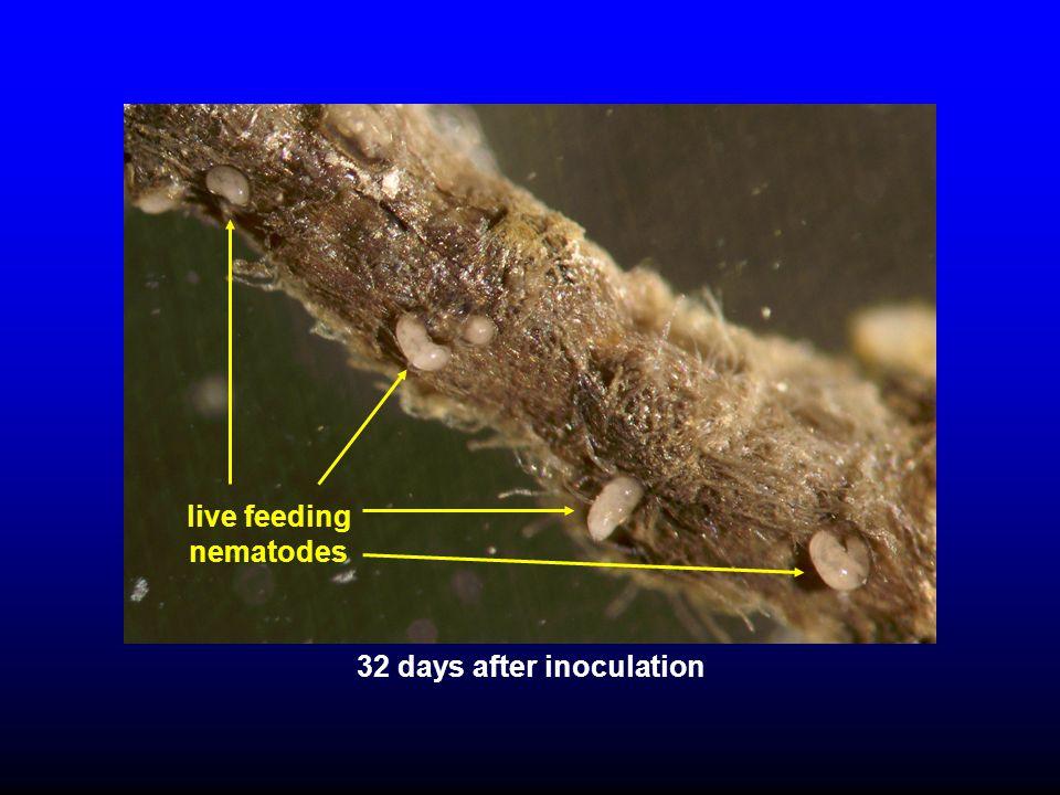 live feeding nematodes 32 days after inoculation