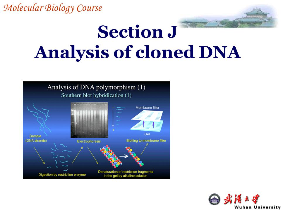 J1-4 Labeling of DNA or RNA probes End labeling : put the labels at the ends Uniform labeling : put the labels internally radioactive labeling: display and/or magnify the signals by radioactivity Non-radioactive labeling: display and/or magnify the signals by antigen labeling – antibody binding – enzyme binding - substrate application (signal release J1 Characterization of clones