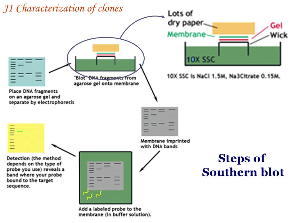 Steps of Southern blot J1 Characterization of clones