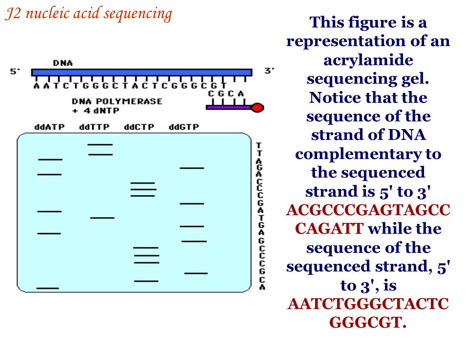 This figure is a representation of an acrylamide sequencing gel. Notice that the sequence of the strand of DNA complementary to the sequenced strand i