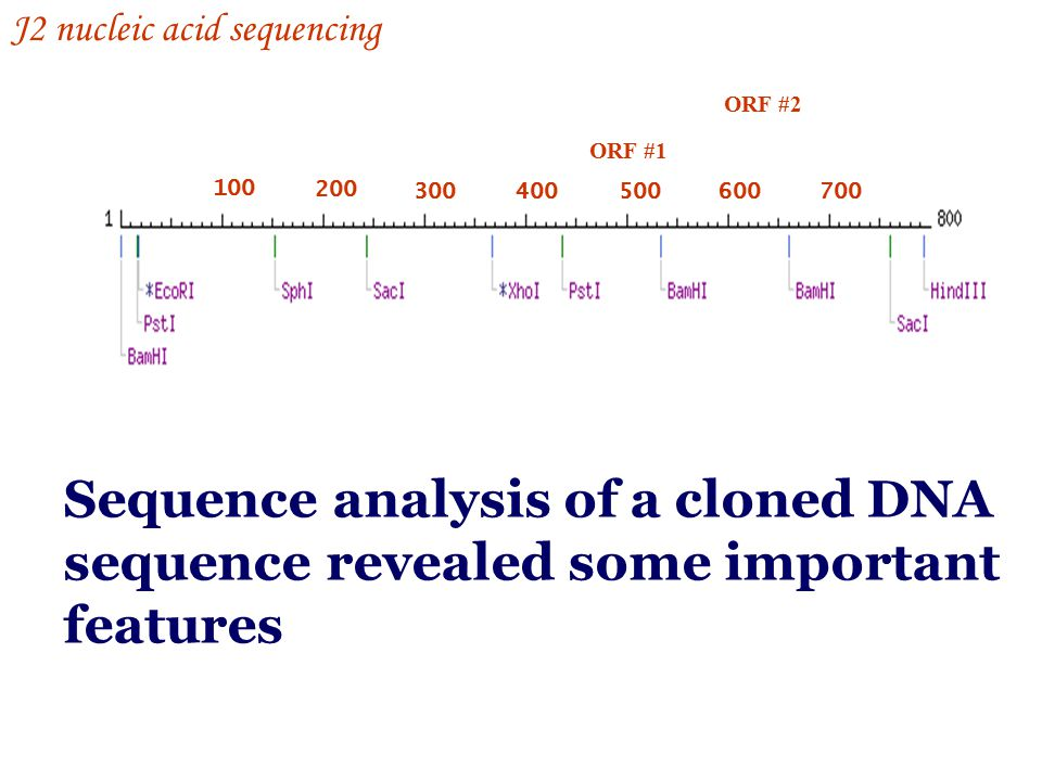 100 200 300400500600700 ORF #1 ORF #2 Sequence analysis of a cloned DNA sequence revealed some important features J2 nucleic acid sequencing