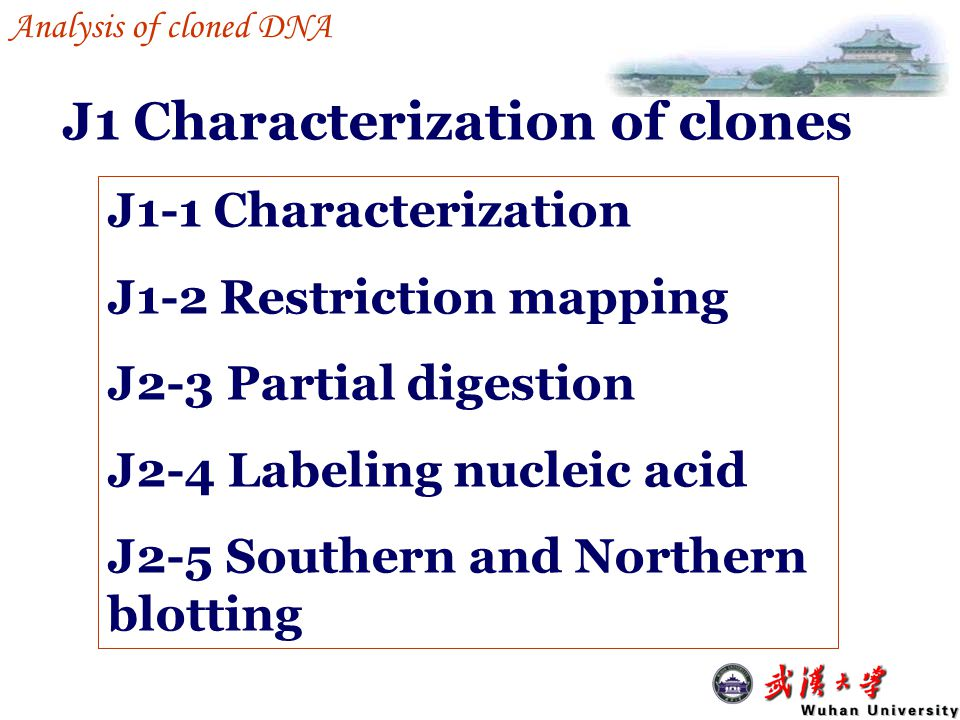 End labeling Double stranded DNA/RNA Fill in the recessive 3'-ends by DNA polymerase Labeled at both ends ---------------------G ---------------------CTTAAp5' For restriction mapping, cut the DNA with another enzyme 5'pAATTC G J1 Characterization of clones