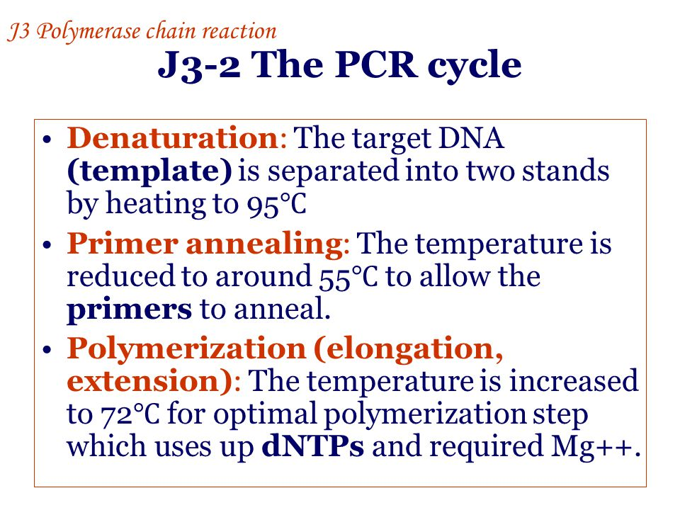 J3-2 The PCR cycle Denaturation: The target DNA (template) is separated into two stands by heating to 95 ℃ Primer annealing: The temperature is reduce